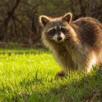Exoten en verwilderde dieren